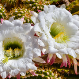 Cactus Flowers, Arizona